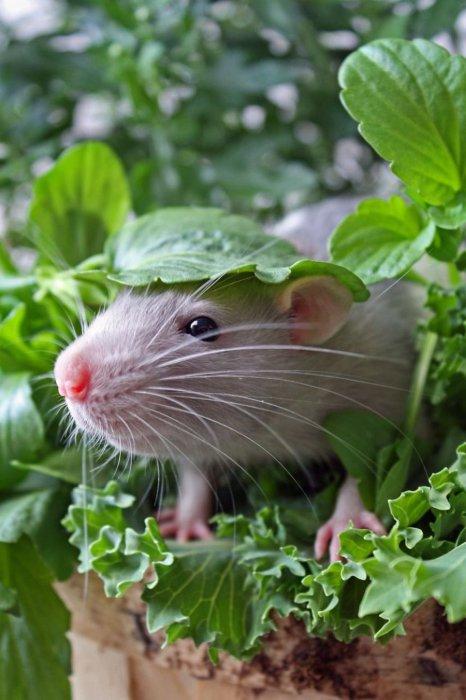 Крыса-искатель приключений!