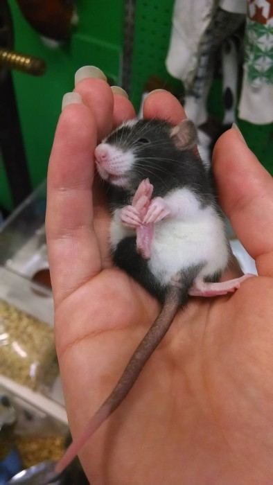 Милый крысенок, который чешет себе лапку.