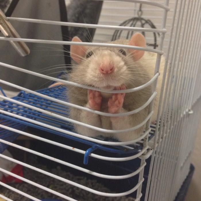 Крысы также любят понаблюдать за людьми из своих клеток.