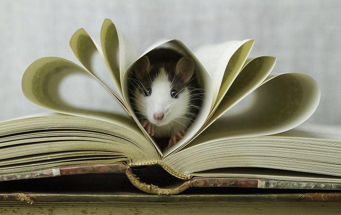 Некоторые крысы любят не только сыр.