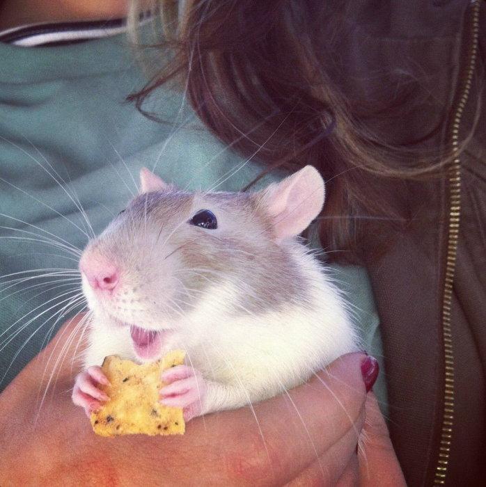 Не каждая крыса будет так радоваться крекеру.