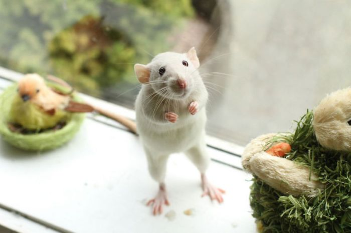 Крыса, которая умеет стоять на двух лапах.