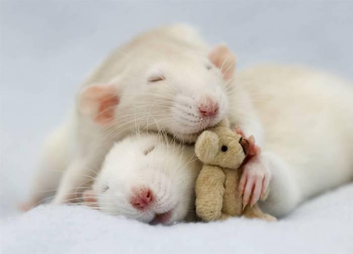 Фотографии, которые доказывают, что крысы могут быть милыми и добрыми домашними животными.