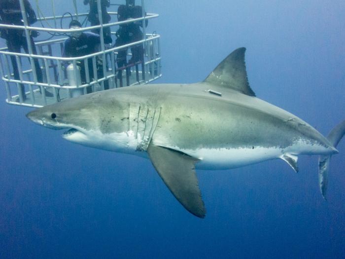 Не каждый осмелится нырнуть на дно океана, чтобы увидеть живую белую акулу.