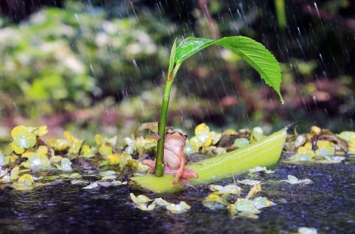 Лягушка, плывущая по реке на самодельном кораблике вовремя дождя.