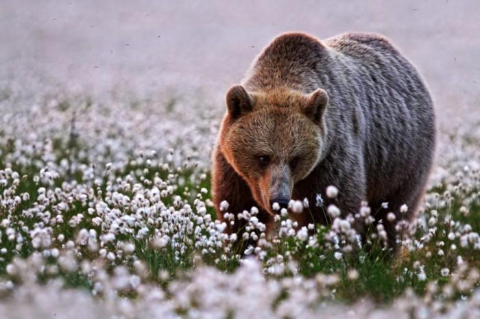 Может это и не цветы привлекли медведя, но выглядит он очень радостным.