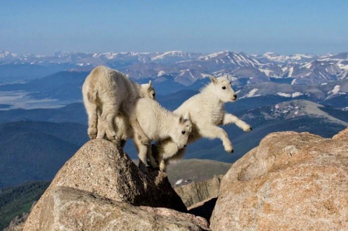 Даже козлятам иногда хочется поиграть в салочки.