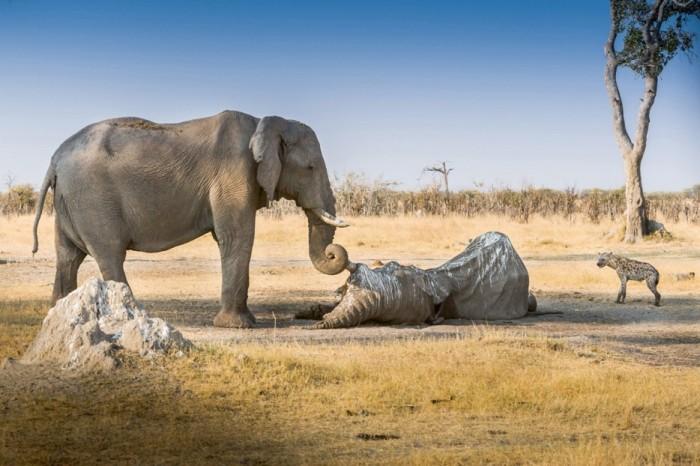 Слон да конца остается верен своему другу.