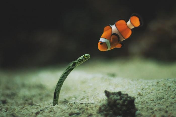 Первое знакомство рыбы-клоуна и угря.