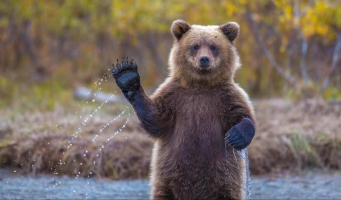 Бурый медведь приветствует своих друзей.