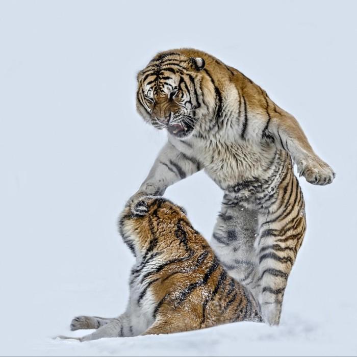 В семейной жизни тигров так же не все идет гладко.