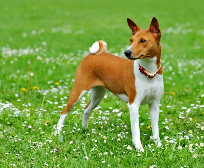Собака породы Басенджи, которая лает подобно песням тирольцев.