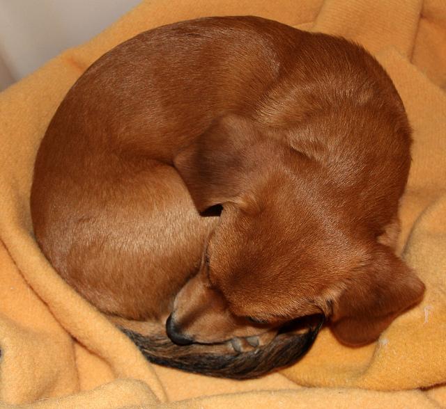 Ученые выяснили, что собаки сворачиваются в клубок для того, чтобы защитить свои жизненно важные органы от хищников.