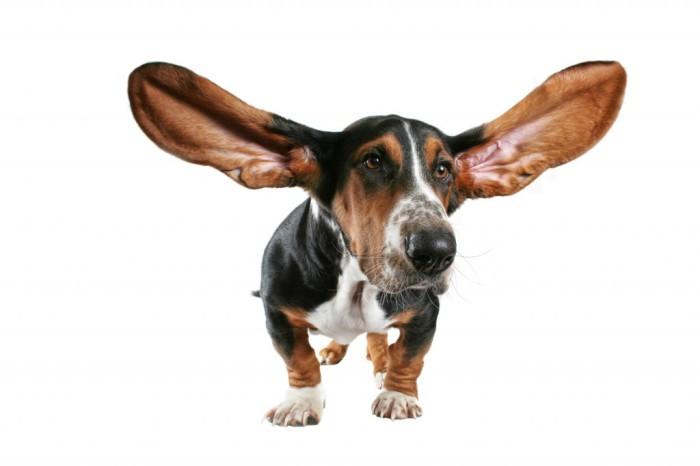 Также уши собак могут двигаться по отдельности каждое.