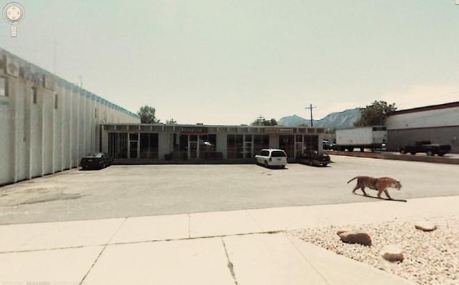 Тигр прогуливается по обычной автостоянке.