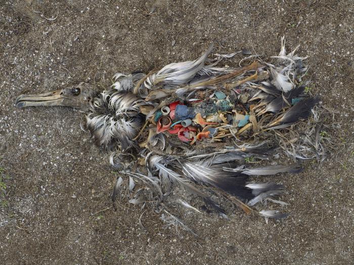 Умерший от поглощения пластика альбатрос.