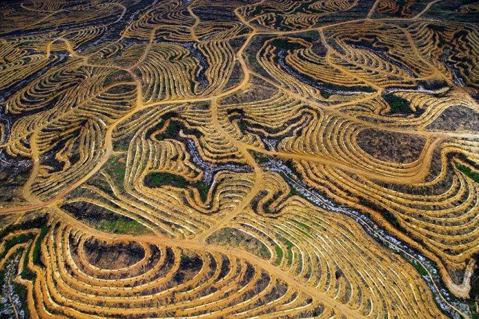 Вырубленный лес, превращенный в пальмовую плантацию.