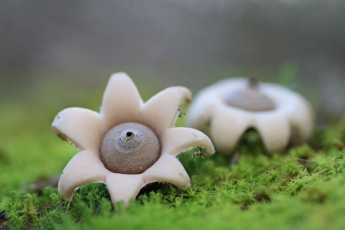 Израильский гриб в форме звезды.