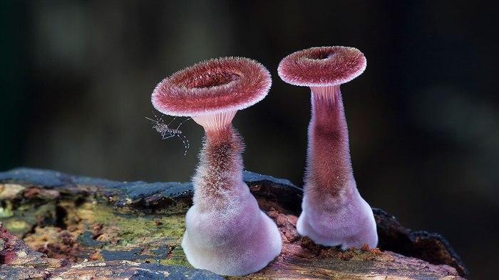 Мохнатые австралийские грибы.