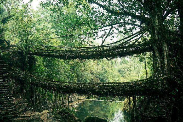 Міст з коріння дерев в Індії.