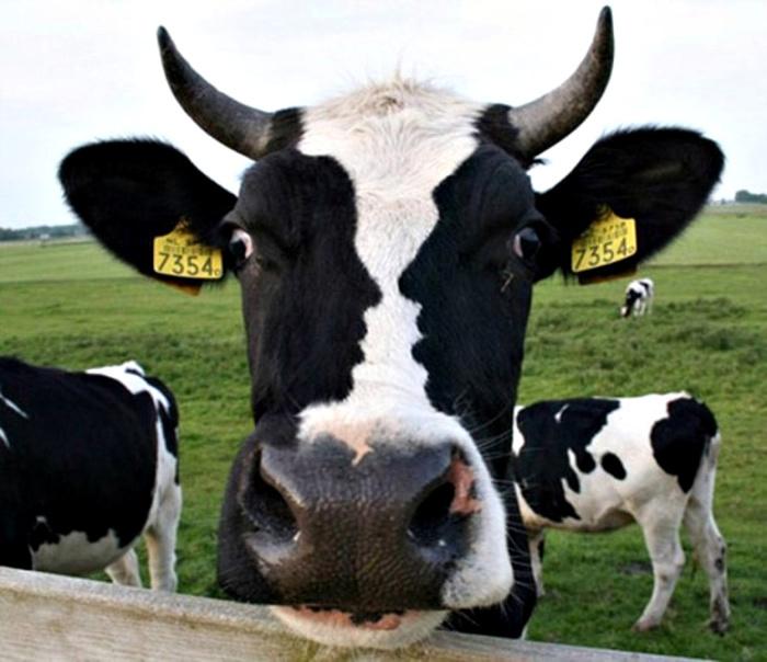 Оптическая иллюзия на носу коровы.