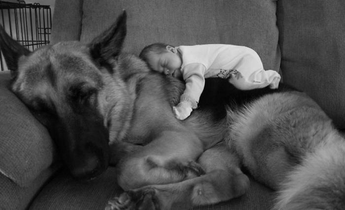 Совместный отдых младенца и кавказской овчарки.