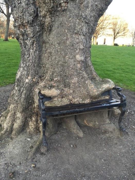 Дерево, которое почти полностью поглотило скамью.