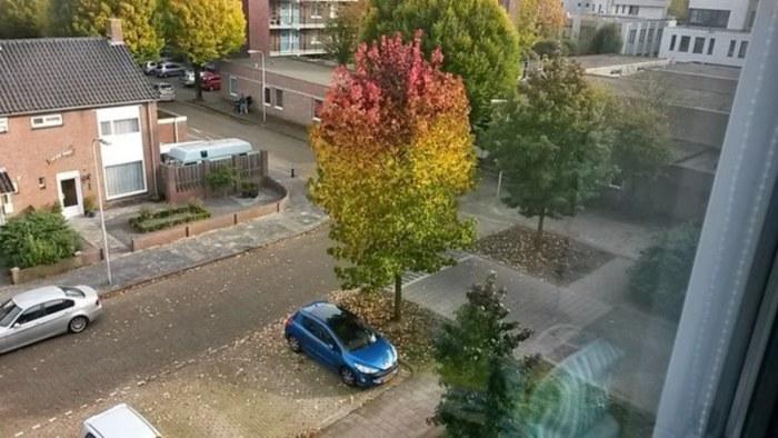 Трехцветное дерево, которое определенно оказалось не в своей колее.