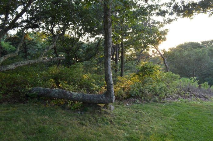 Дерево, которое взбунтовалось против общепринятых норм.