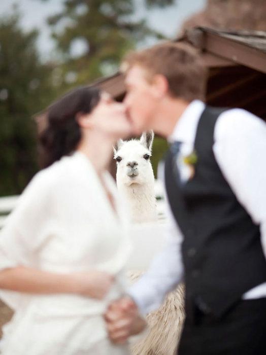 Ламы очень любят посещать свадьбы!
