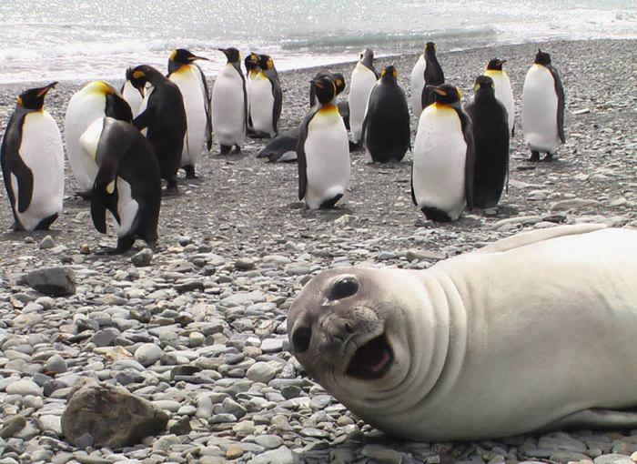 Тюлень с хорошим чувством юмора.
