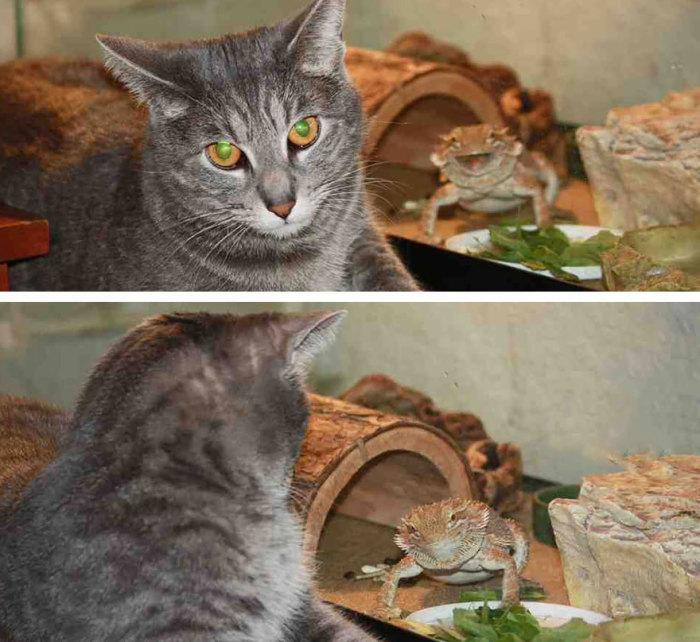 Ящерицы - лучшие друзья котов!
