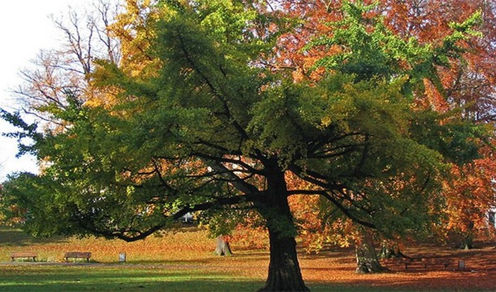 Деревья гингко билоба.