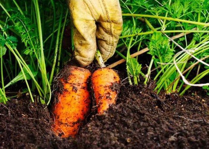 Кофейная гуща поможет выращивать морковь.