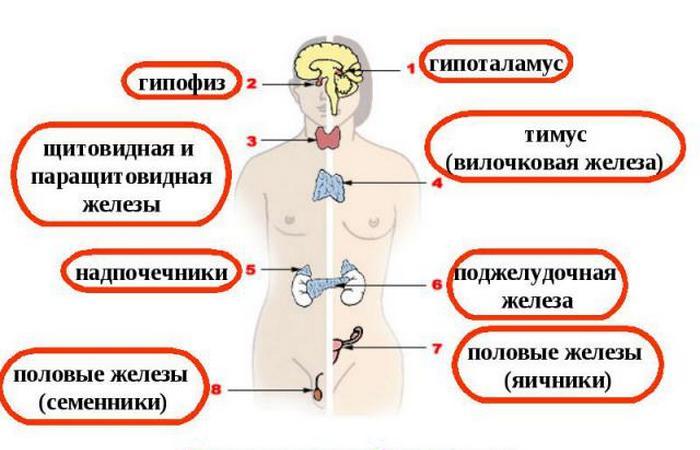 Польза голодания: улучшение выработки гормонов.