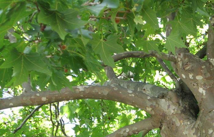 В тени платанового дерева.