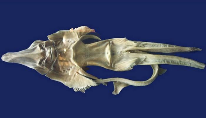 Фиджийская русалка.