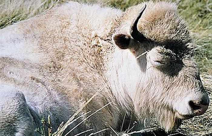 Белый бизон.