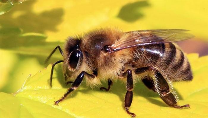Обратить внимание: пчелы.
