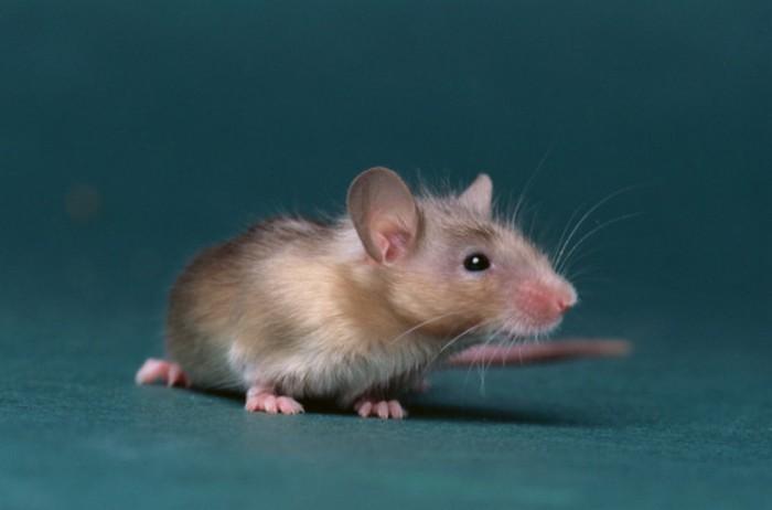 Паста из мышей.