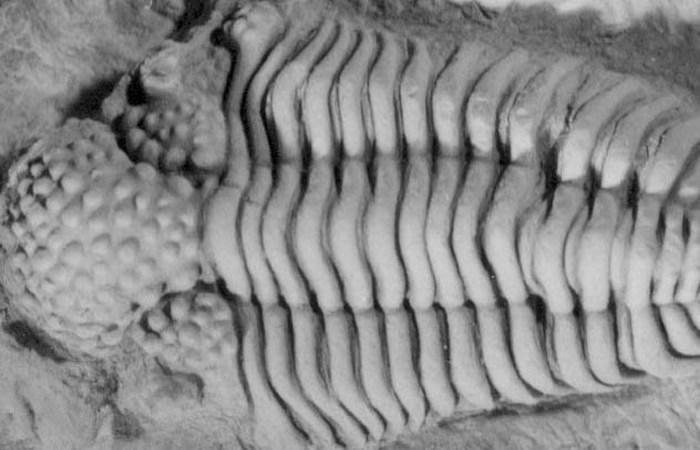 Морское членистоногое начала кембрийского периода.