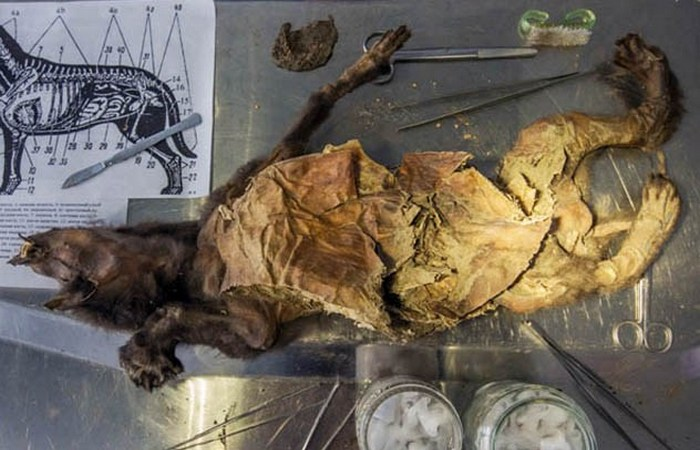 Древняя собака Тумат.