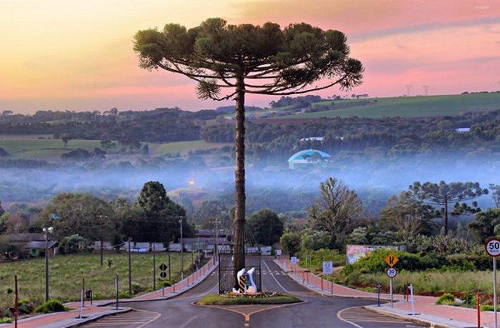 Дорога, построенная вокруг дерева араукарии.