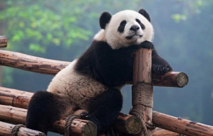 Профессиональная панда.
