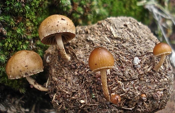 Галлюциногенные грибы.