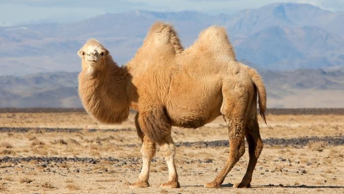 Развенчанный миф: верблюды хранят воду в своих горбах.