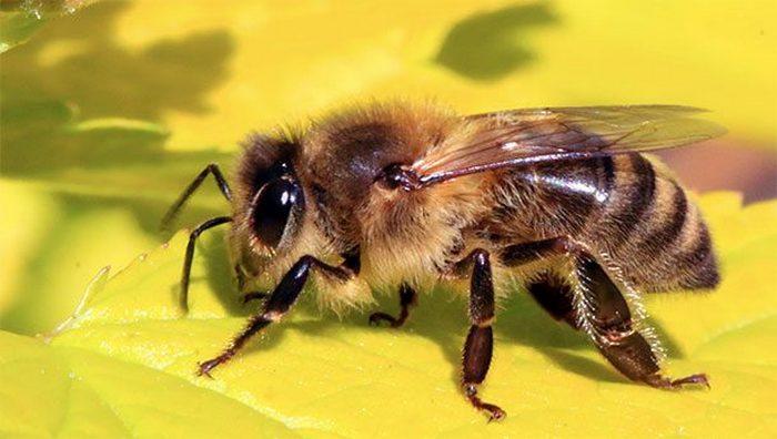 Развенчанный миф: ученые не знают, как летают пчелы.