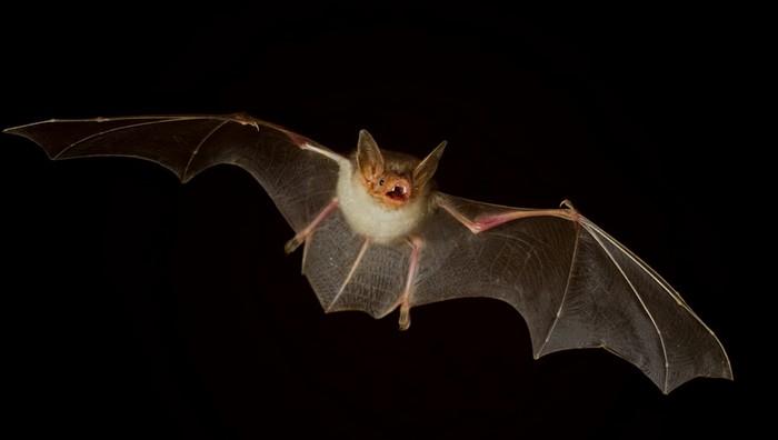 Развенчанный миф: летучие мыши слепые.