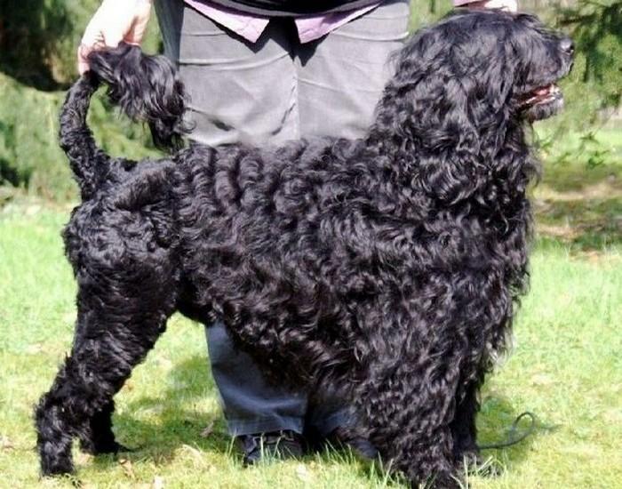 Португальская водяная собака.