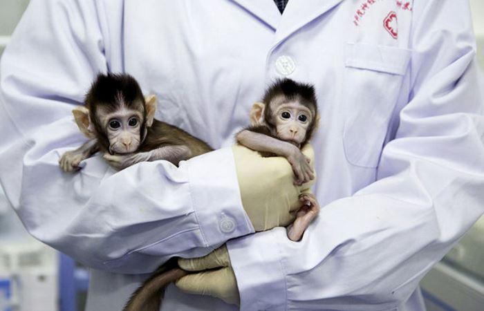 Китай успешно клонировал обезьяну.
